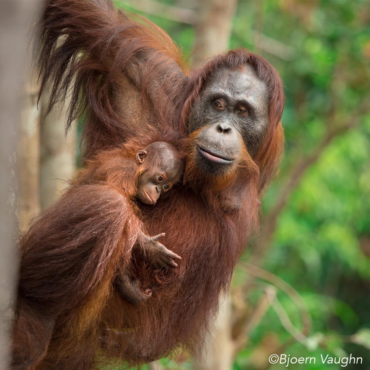 BOS Orang Utan Mutter mit Baby